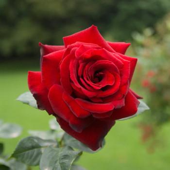 Rosier Le Rouge et Le Noir®