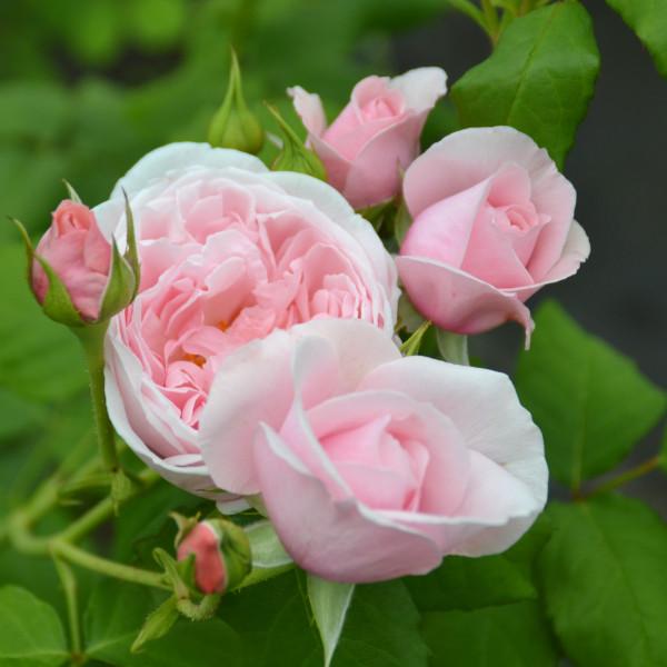 Rosier Nahéma® Le rosier Tige