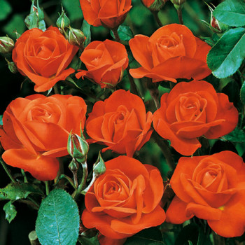 Rosier Orange Sensation