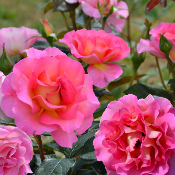 Rosier Pink Paradise® LABEL ROUGE