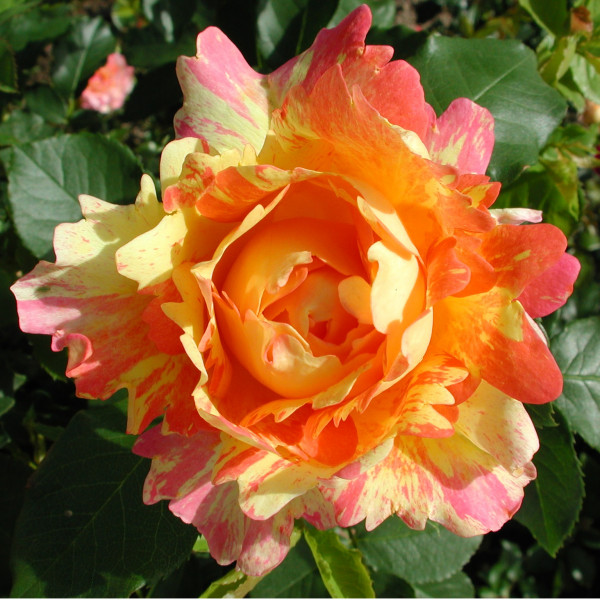 Rosier Rose des Cisterciens®