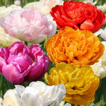 Tulipes à fleur de pivoine en mélange - Lot de 15 Bulbes