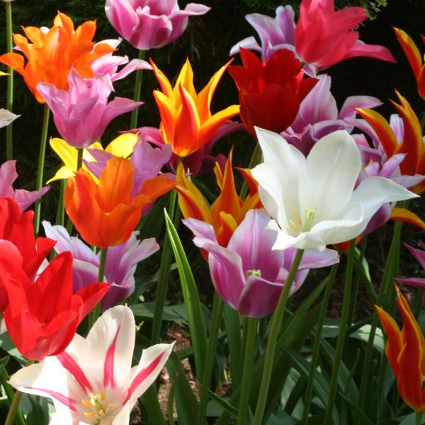 Tulipes Fleur de Lys en mélange - Lot de 15 Bulbes