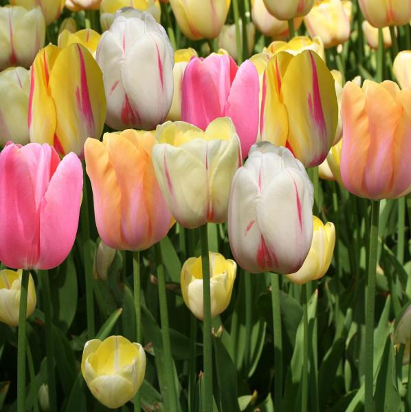 Tulipes simples tardives en mélange - Lot de 15 Bulbes