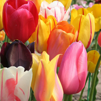 Tulipes simples tardives en mélange - Lot de 15 Bulbes