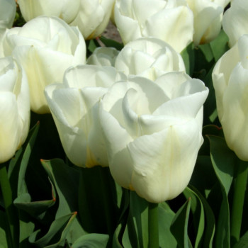 Tulipes Triomphes Calgary - Lot de 10 Bulbes