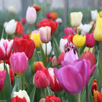 Tulipes Triomphes Pastel en Mélange - Lot de 20 Bulbes