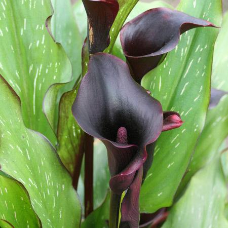 Arum Forêt Noire