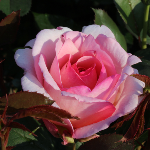 Rosier Belle du Seigneur® Le rosier tige
