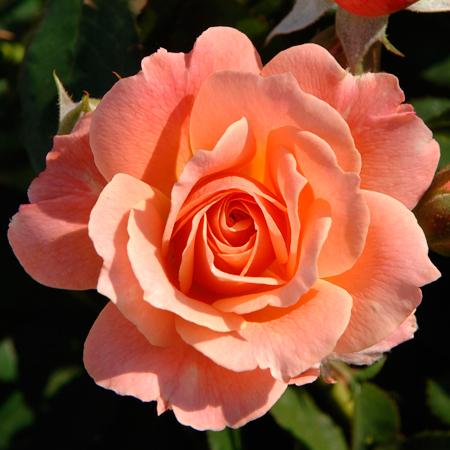 Rosier Bordure Abricot®