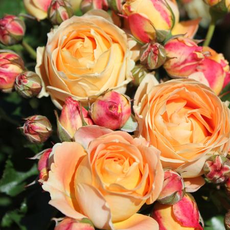 Rosier Dolce Vita® Le rosier tige