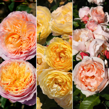 Collection Les roses royales