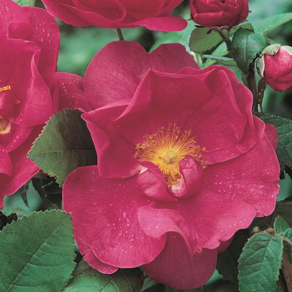 Rosier Rose de Provins