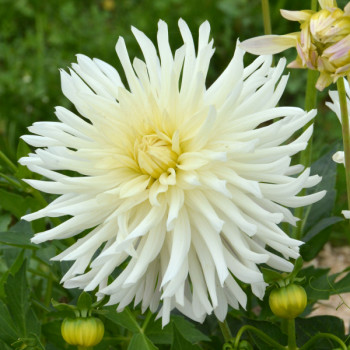 Dahlia nain Purissima - Lot de 2 Bulbes LABEL ROUGE