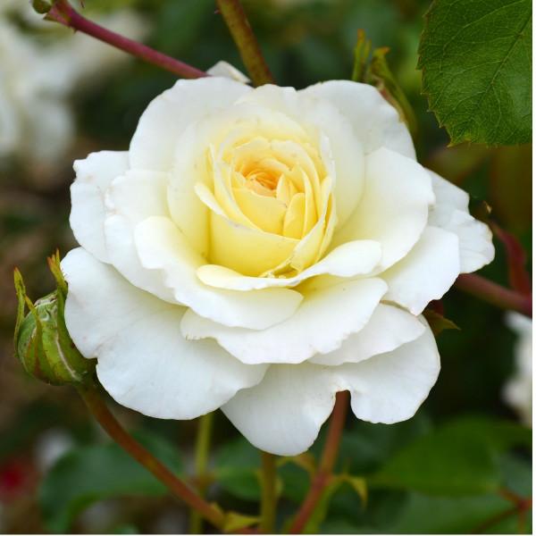 Rosier Centenaire de Lourdes® Blanc