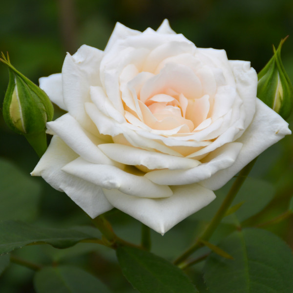 Rosier Grimpant Blanche Colombe®