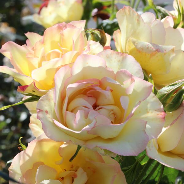Rosier Centenaire de Lourdes® Jaune