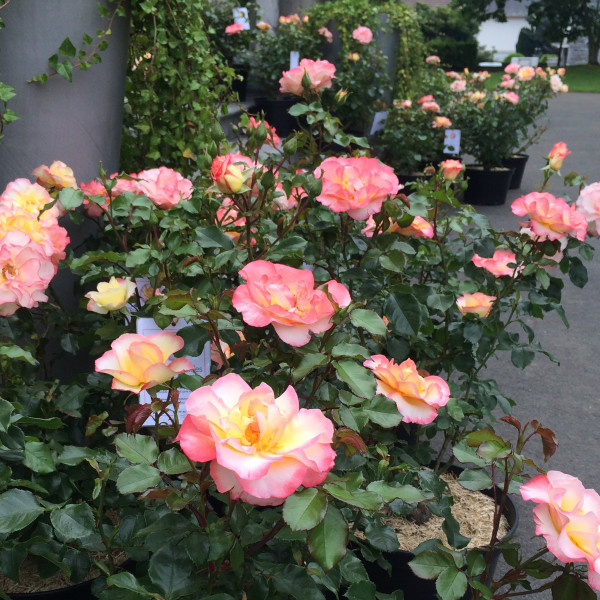 Rosier Rose de Lourdes®