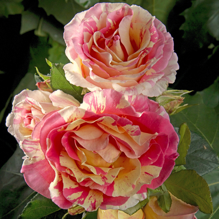Rosier Claude Monet® Le rosier Tige