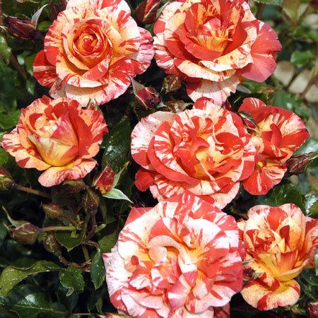 Collection Les Roses de Peintres