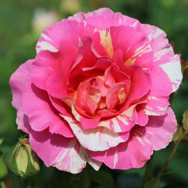 Collection Roses des Peintres®