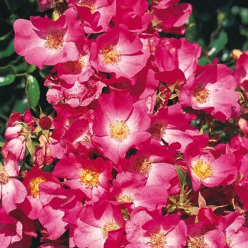 Rosier Avalanche Rose®
