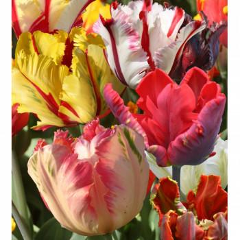 Tulipes Perroquets en mélange - Lot de 10 Bulbes