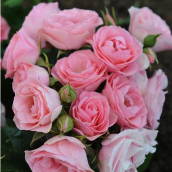 Rosier Bouquet de Mariée®
