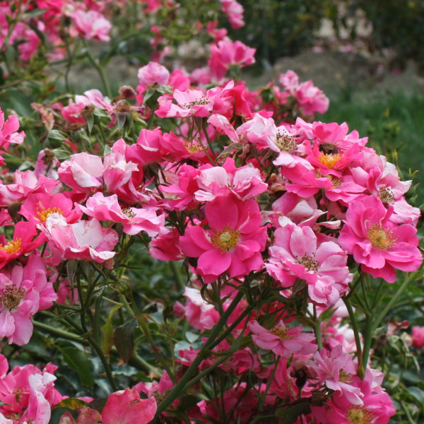 Rosier Rose Cascade®