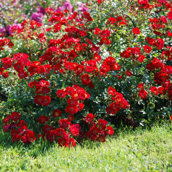 Rosier Rouge Cascade®