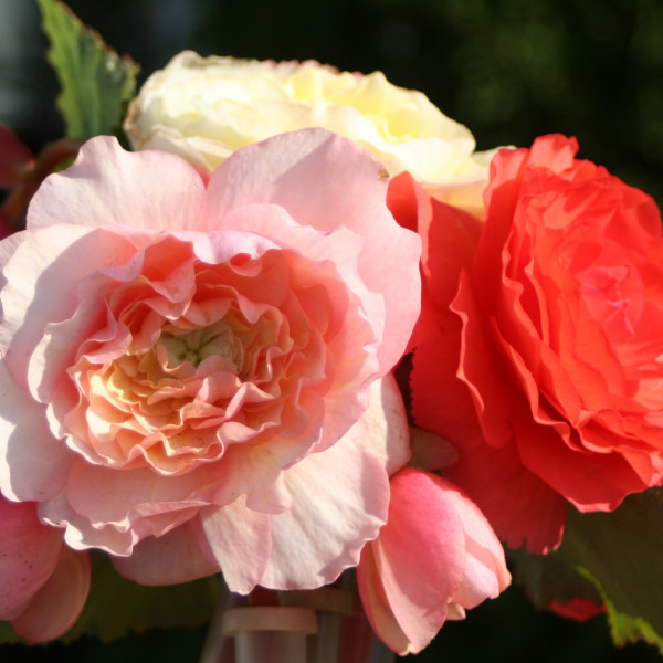 Begonias pastels au parfum de rose - Lot de 3 Bulbes