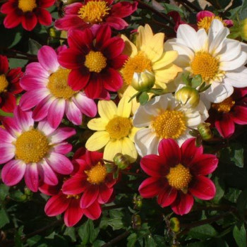 Dahlias nains Top-Mix en mélange - Lot de 5 Bulbes
