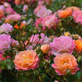 Rosier Bordure Camaïeu® Le rosier tige
