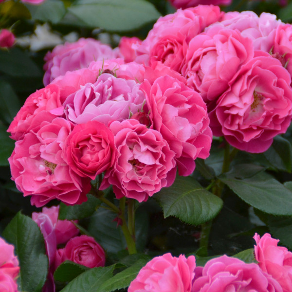 Rosier Bordure Magenta® Le rosier Tige