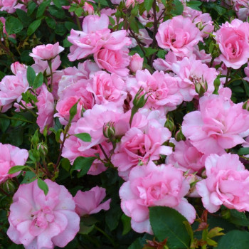 Rosier Bordure Rose®