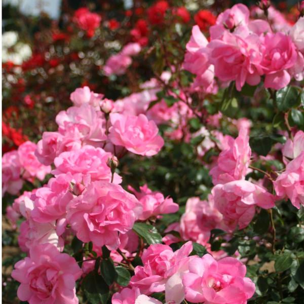 Rosier Centenaire de Lourdes® Rose