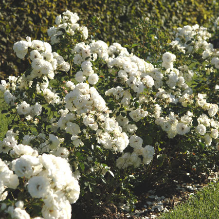 Rosier Bordure Blanche®