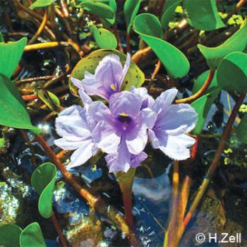Eicchornia azurea