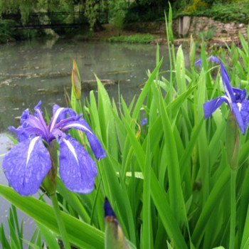 Iris laevigata ´Latour Marliac´