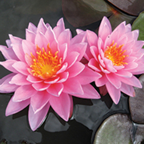 Nénuphar Pink Sunrise