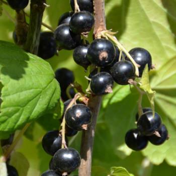 Cassissier Perles d´Auvergne® Agriculture Biologique