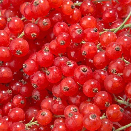 Groseillier-raisin Agate Rouge® Agriculture Biologique