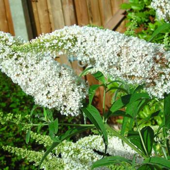 Arbre à papillons White Profusion