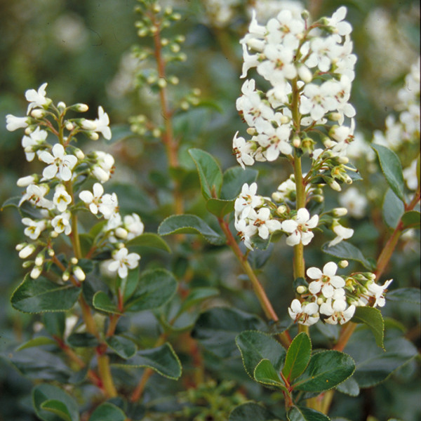 Escallonia Iveyi