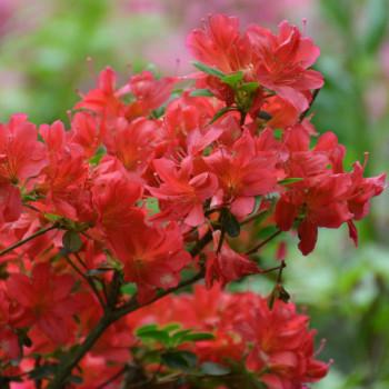 Azalée japonaise Hino Crimson