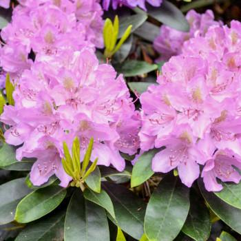 Rhododendron Eucharistis