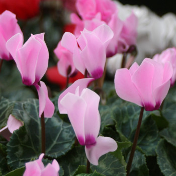 Cyclamen de Naples - Lot de 3 Bulbes