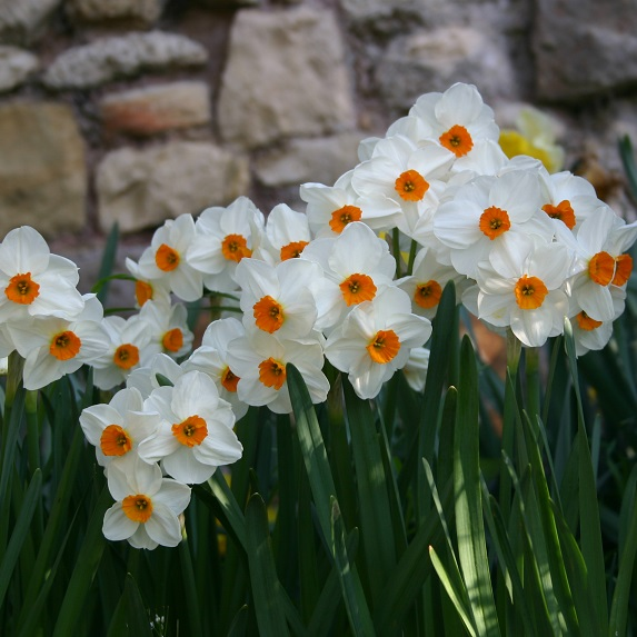 Narcisses Géraniums - Lot de 10 Bulbes