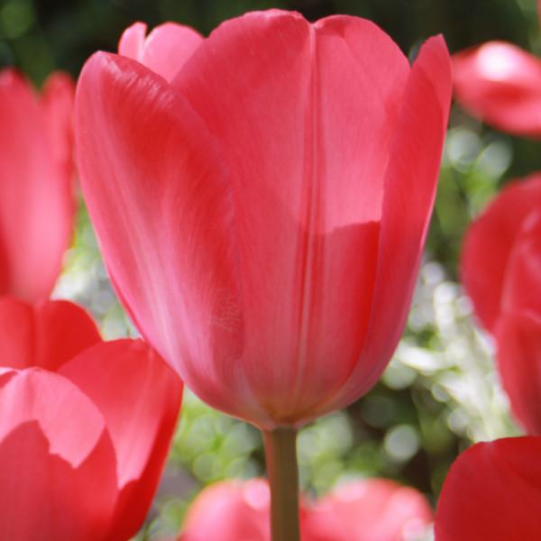 Tulipes Darwin Van Eyck - Lot de 15 Bulbes