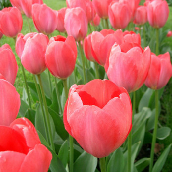 Tulipes Darwin Van Eyck - Lot de 15 Bulbes